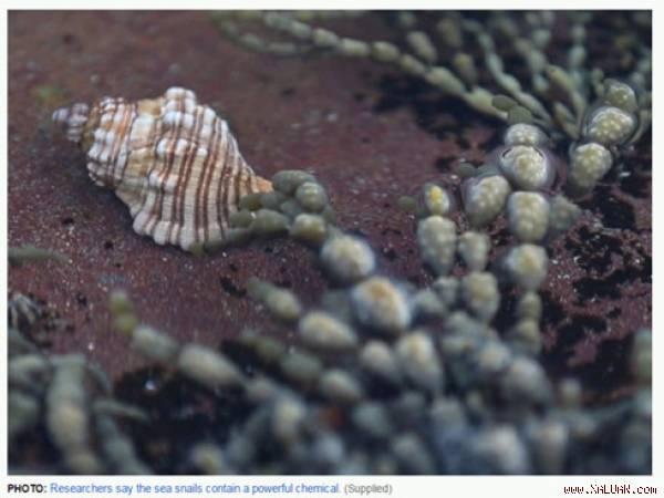 Tìm thấy chất diệt ung thư cực mạnh từ loài sên biển
